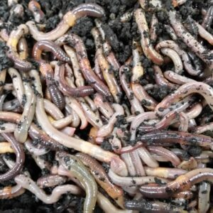 Nightcrawlers, earthworms, dew worms, Lumbricus terrestris