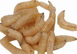 spikes, Calliphora Vicina, white maggots, blow fly larvae, bottle nose fly larva